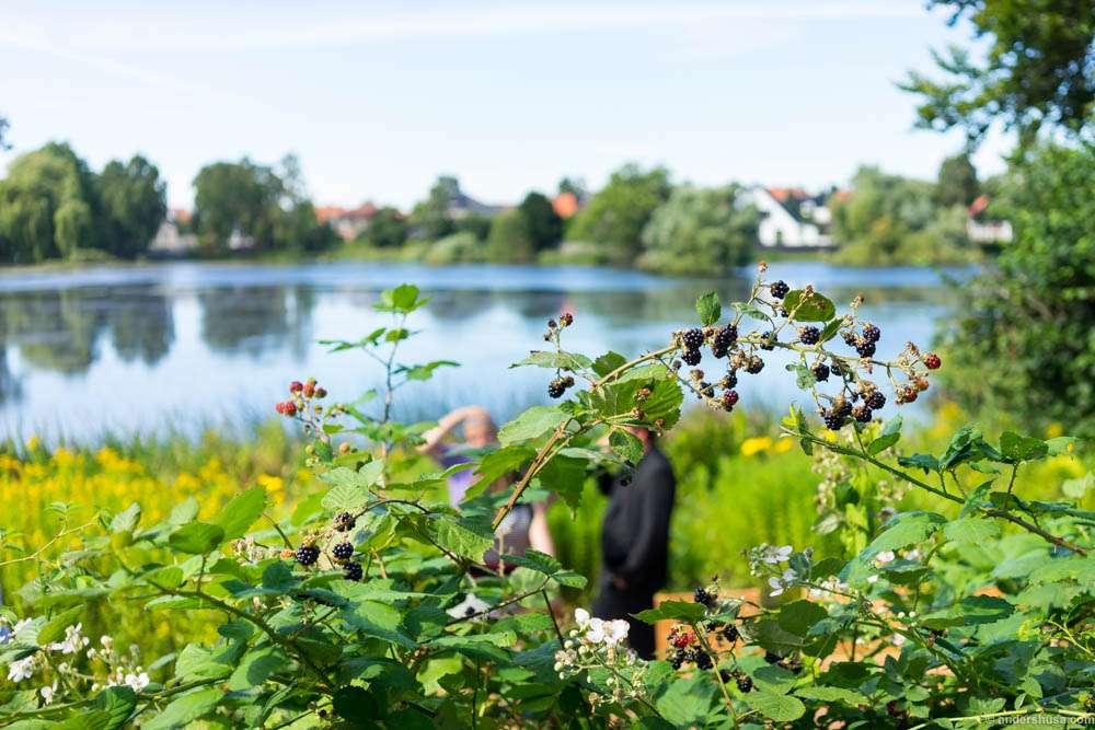 Blackberries were growing wild in the garden