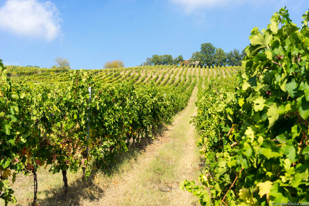 The Lamoretti vineyard