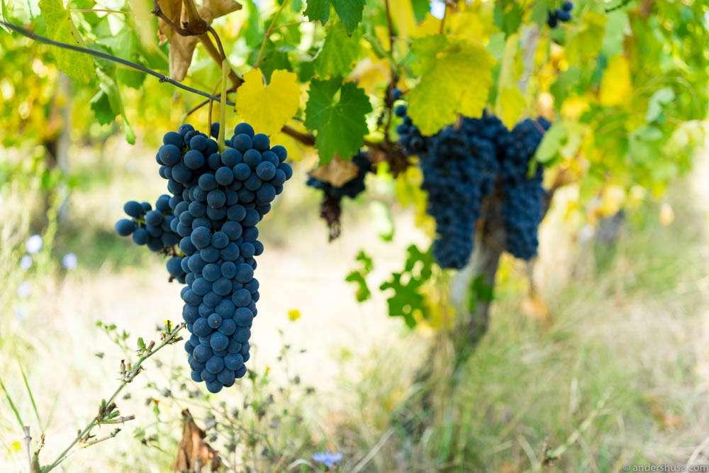Lambrusco grape clusters