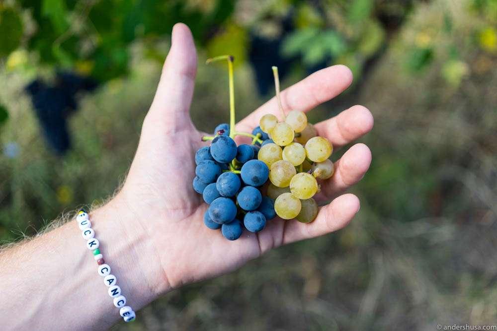Lambrusco and Malvasia grapes