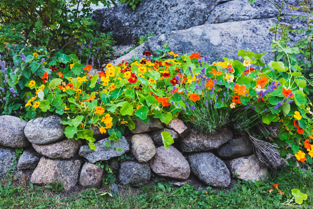 Nasturtium growing in the garden