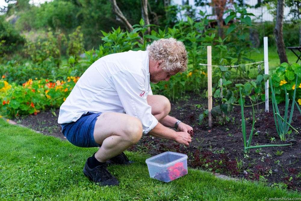 Kim picking more nasturtium flowers in the garden