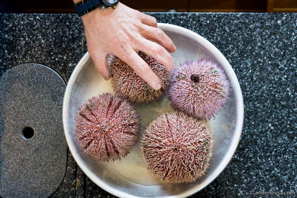 Norwegian sea urchins