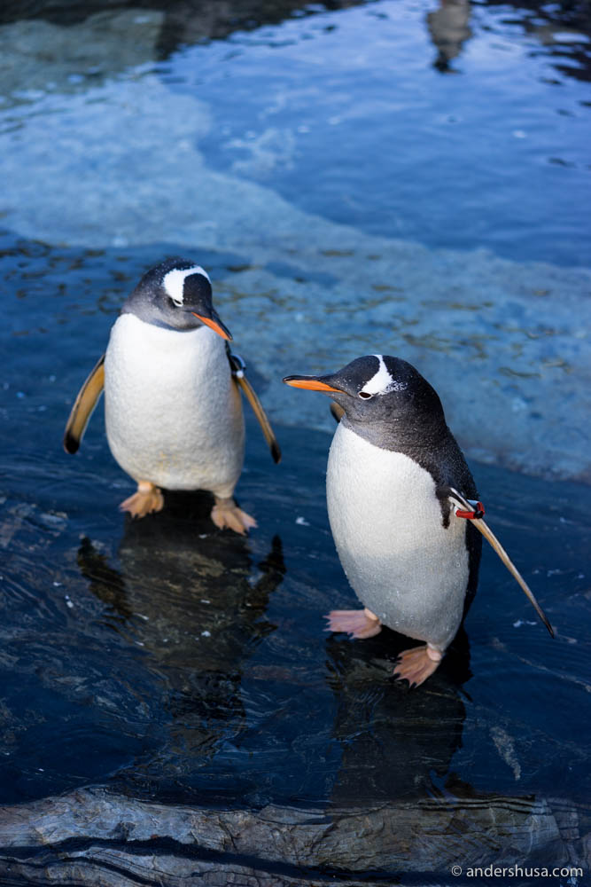 The penguins at the Aquarium in Bergen where the Smak av Kysten conference took place